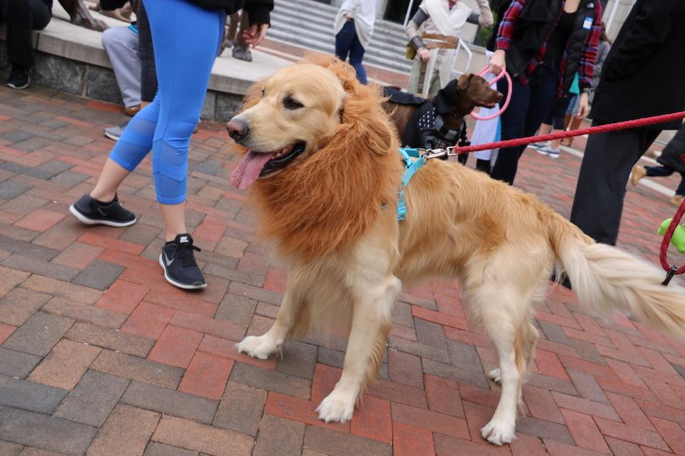 Dog dressed up in a lion costume for Strut Your Mutt